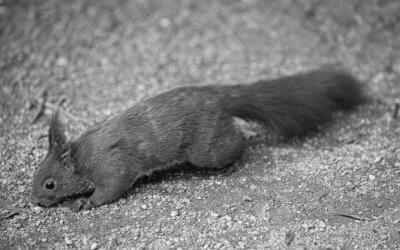 Pausen sind doch nicht so überflüssig: Mühsam ernährt sich das Eichhörnchen.